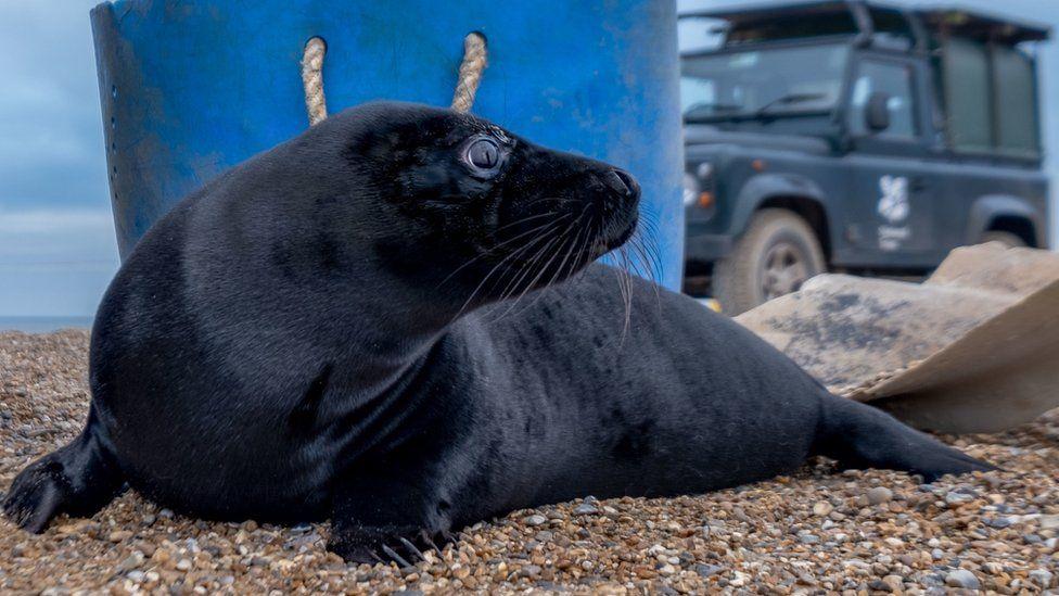 Melanistic seal pup