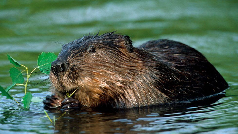 A Eurasian beaver, chewing on a leaf