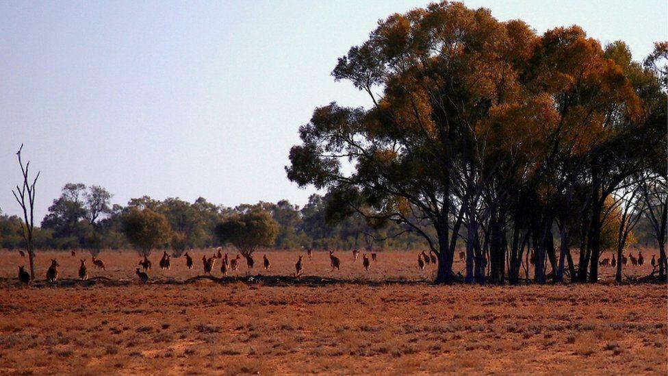 Kangaroos are seen in a parddock in Cunnamulla, Queensland