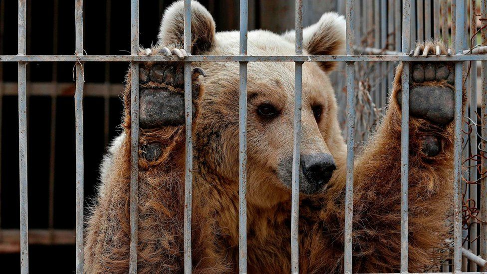 File photo from 28 March 2017 shows Lula, an abandoned bear, in a cage at a zoo in Mosul