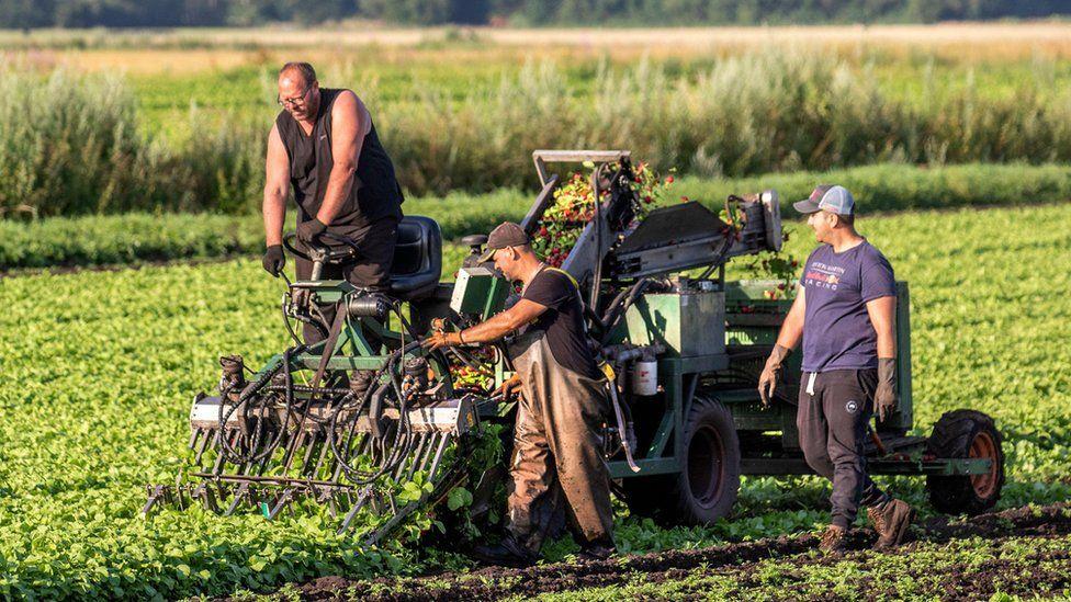 Farmers harvesting radishes in Tarleton, Lancashire