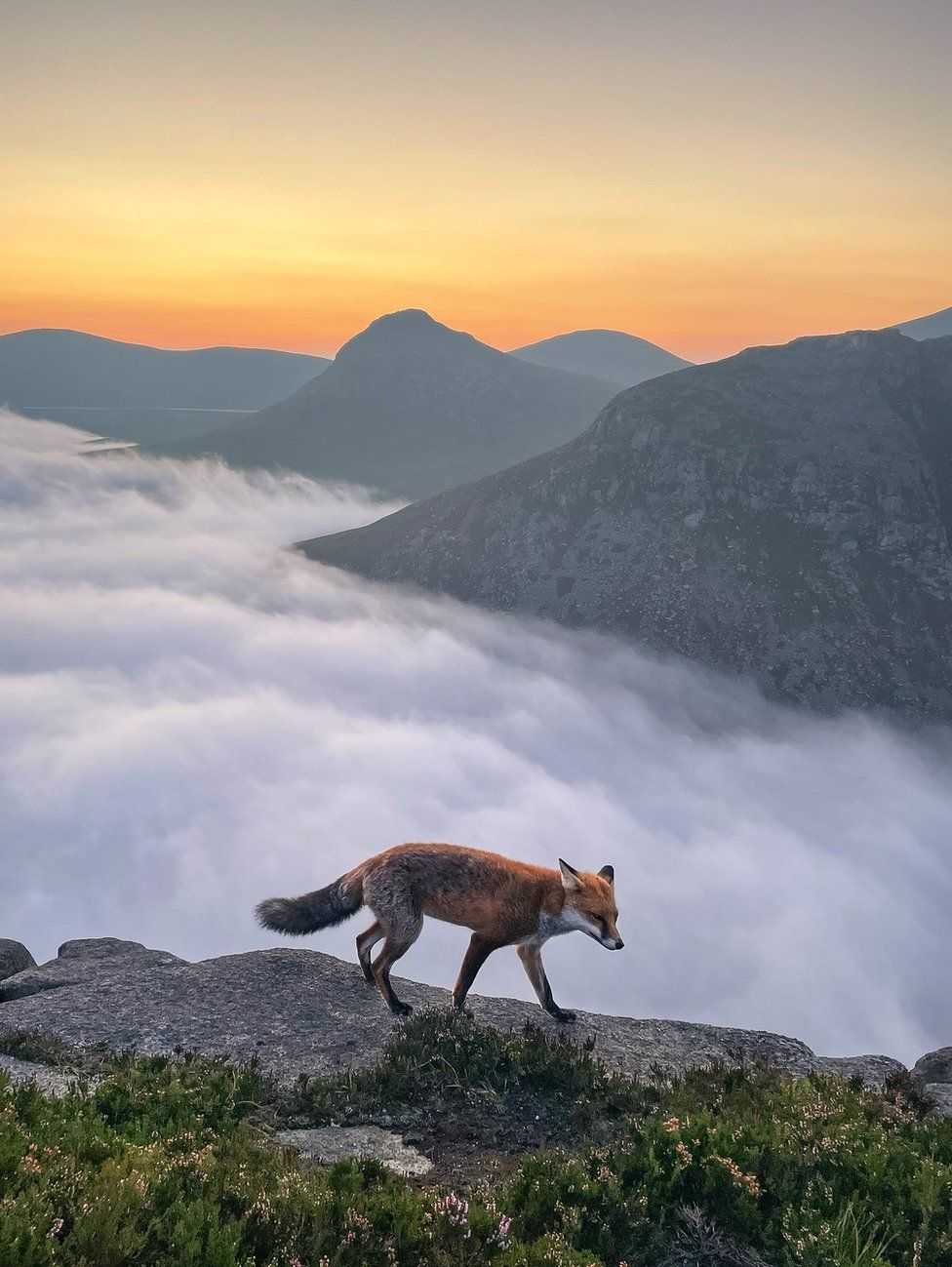 A fox walks along a granite stone at sunset on Slieve Binnian in the Mourne mountains in County Down