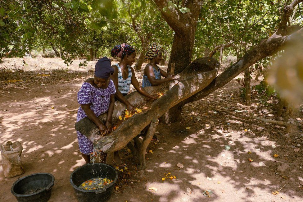 Quinta Cabi, Meia Nianta, and Milu Antonia Da Silva squeeze the juice from cashew apples. They will ferment the juice and then sell it as cashew wine for domestic consumption. Nianta said they can make around 5,000 cfa a day from selling the locally made brew.