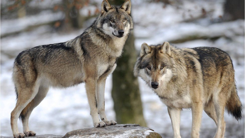 File image of a pair of European grey wolves