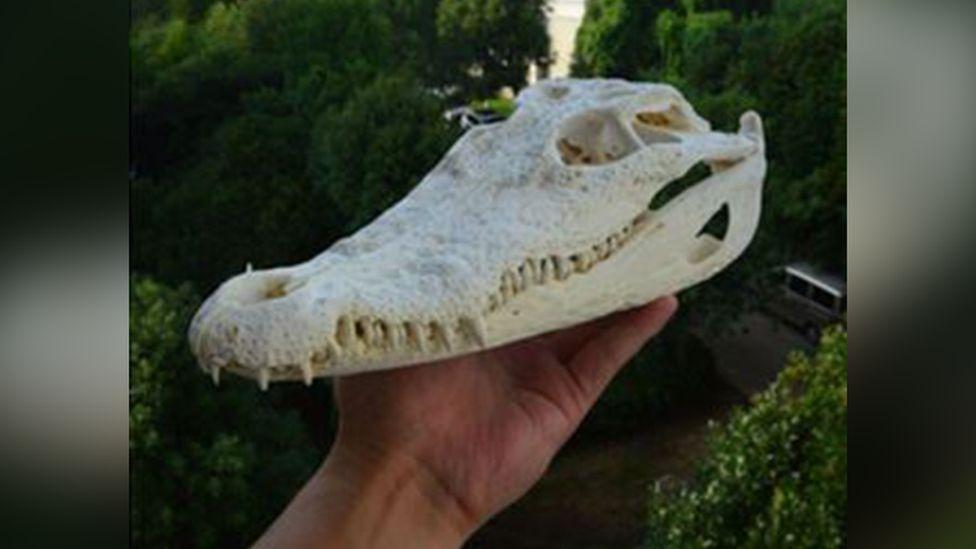 Seized crocodile skull