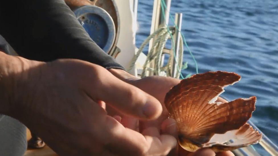 broken scallop shell