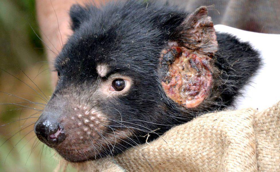 Tasmanian devil with cancerous growth