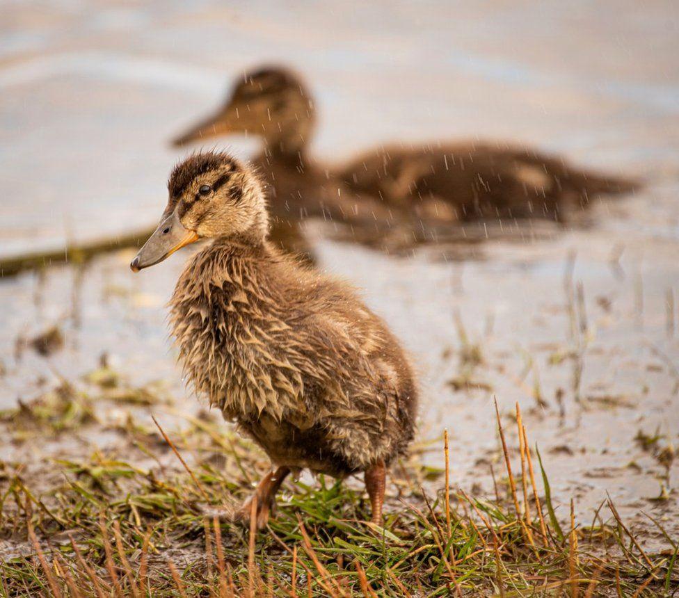 Torry ducklings