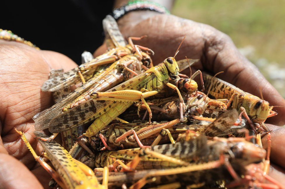 A local tour guide holds a handful of dead desert locusts