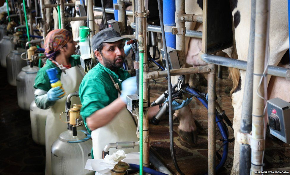 Sikh man and woman milking cows
