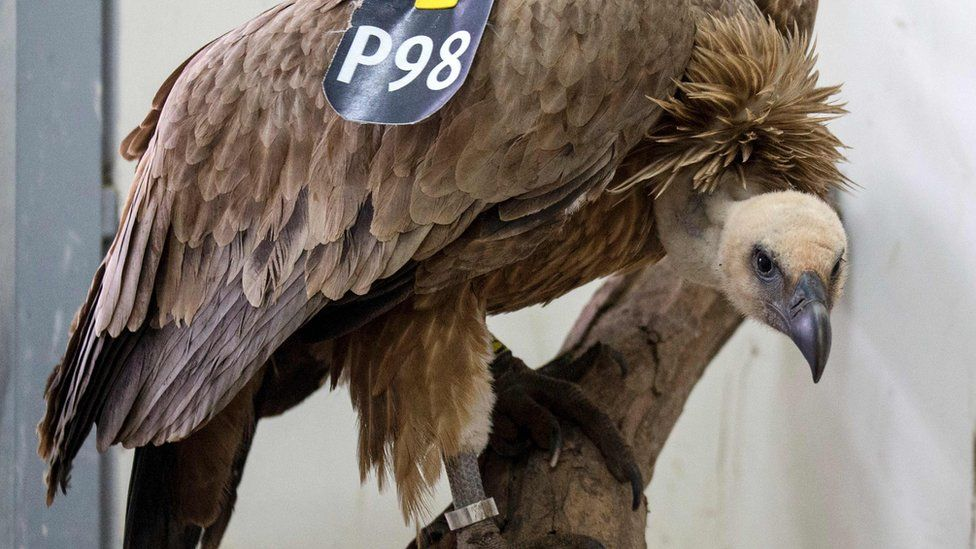 A vulture stands on a tree branch after receiving treatment at a veterinary clinic in the Wildlife Hospital of Ramat Gan Zoo Safari near Tel Aviv, on 29 January 2016