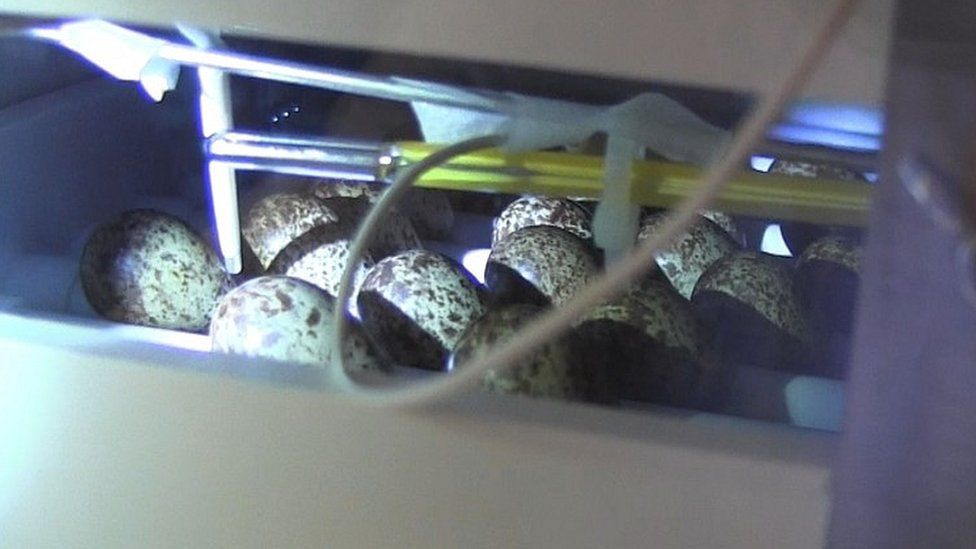 Spoon-billed sandpiper eggs