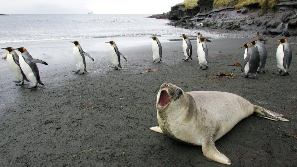 In this file picture taken on July 1, 2007 a colony of king penguins and an elephant seal are pictured 01 July 2007 on Possession Island in the Crozet archipelago in the Austral seas.