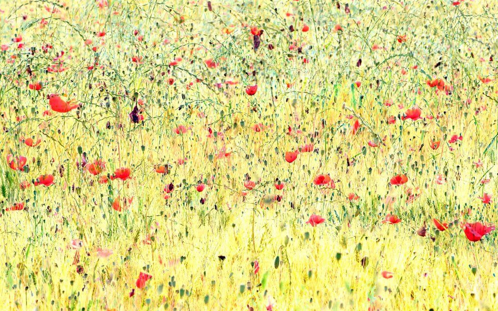 A colourful image of poppies in a field