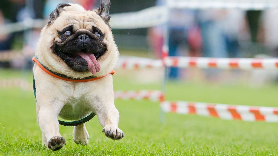 A pug competes at a pug and bulldog race in Wernau, southern Germany