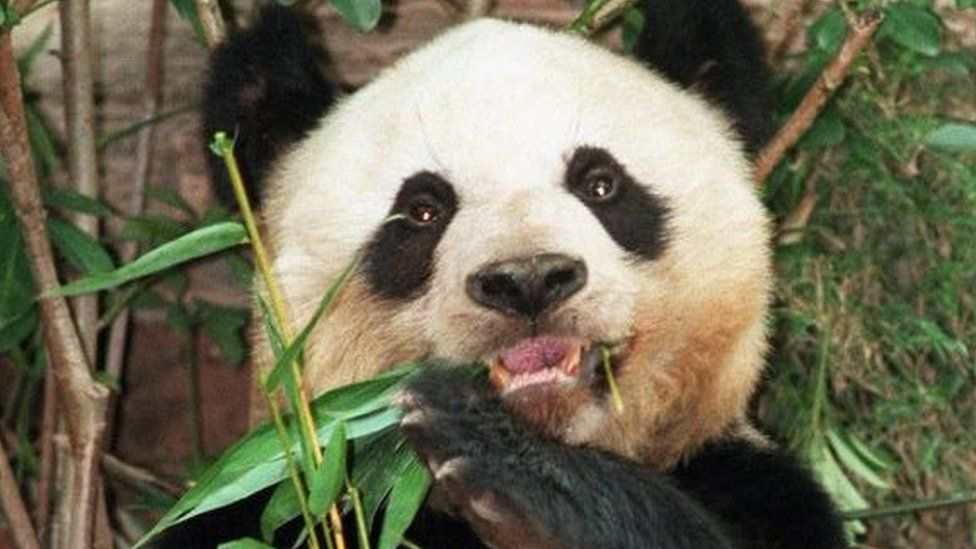 Jia Jia, a female giant panda, munches on bamboo leaves in Hong Kong's Ocean Park, 17 June 1999