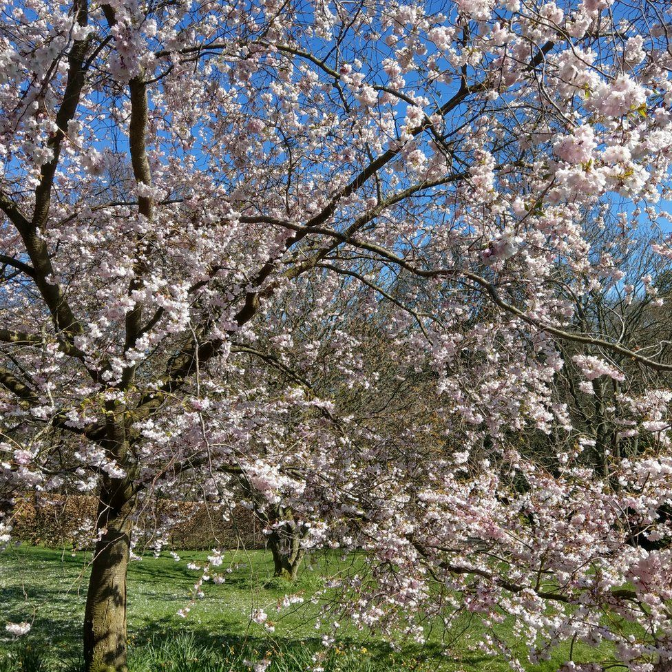 A tree in full bloom at Harrogate Valley Gardens in North Yorkshire