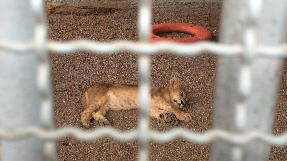 A sick lion cub at the rescue centre