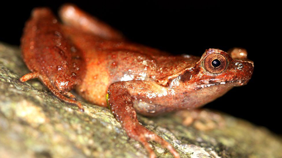 Fansipan horned frog adult