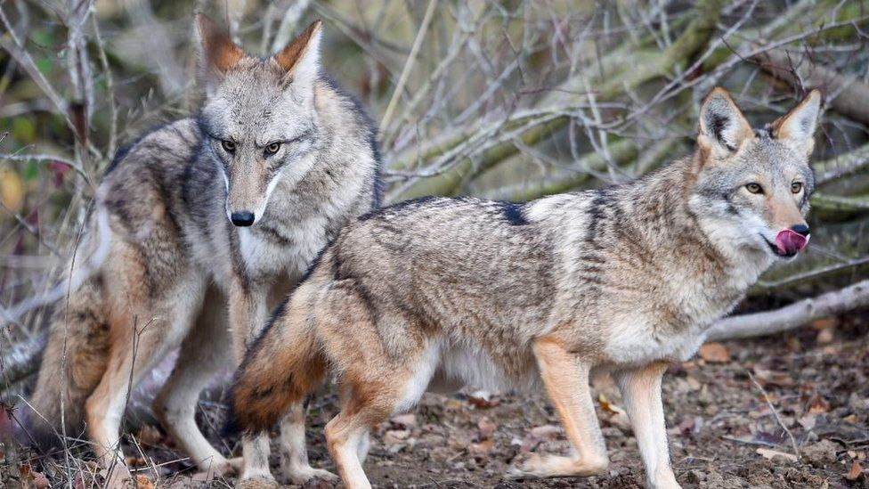 Two coyotes stands in the animal park of Sainte-Croix on November 22, 2018, in Rhodes, eastern France