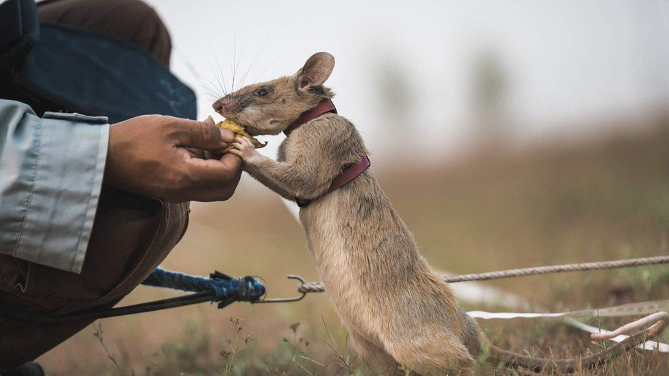 A rat being trained to find mines