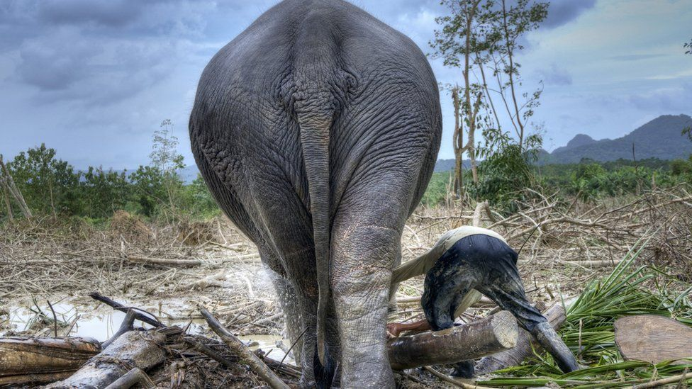 Working elephant in a forest clearing, Thailand