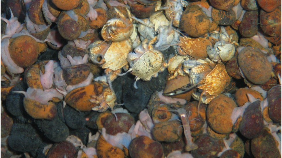 Teeming with life: the new species include the light brown crab in the middle of the photo