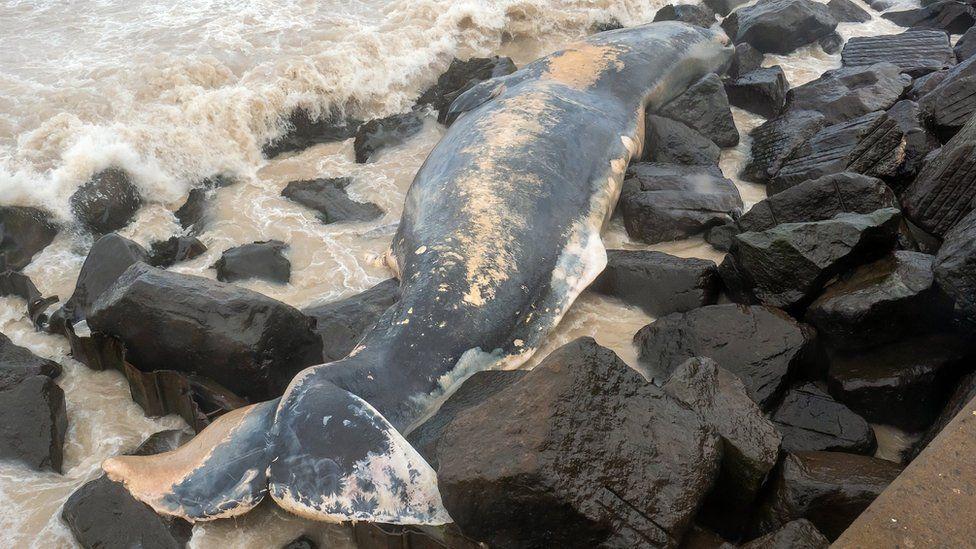 Sperm whale on rocks at Sheringham