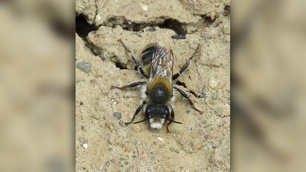 large mason bee