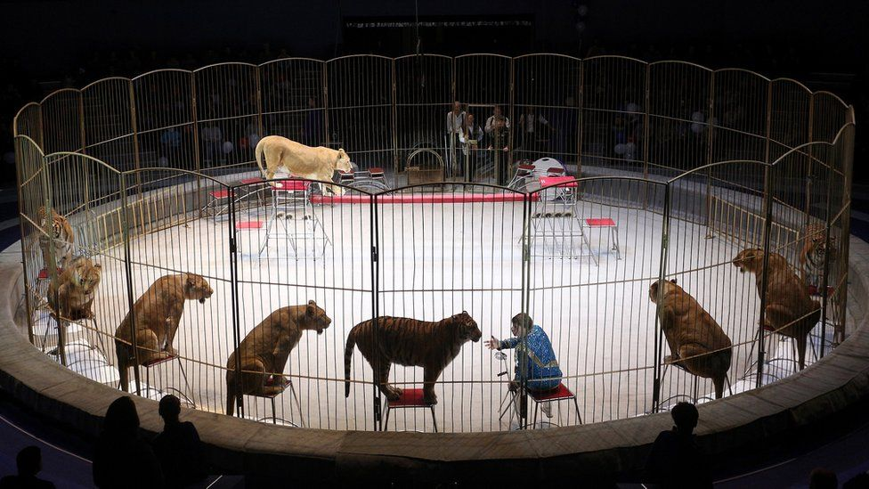Nine lionesses sit on stools around a ring as they perform with their handler Vitaly Smolyanets