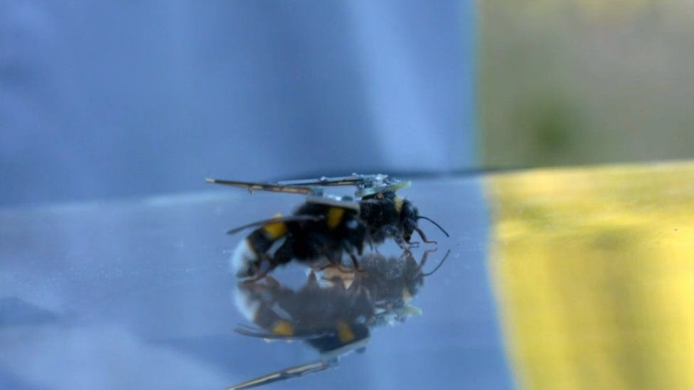 Two bees with transmitters on their backs