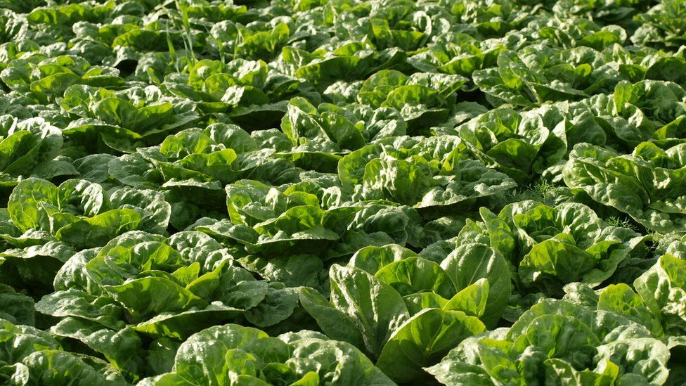Lettuces in field