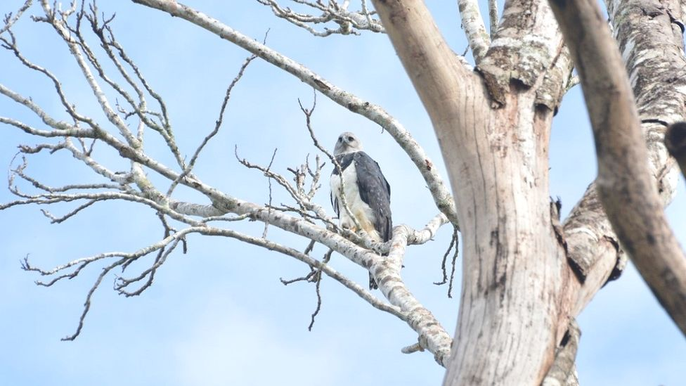 Harpy Eagle perched, southern Amazon Forest, Brazil