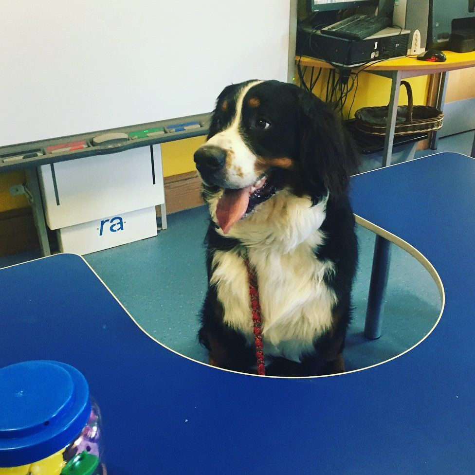 A long-furred black-and-white dog sits at a desk in a classroom. He looks happy, but a bit tired after a day of studying.