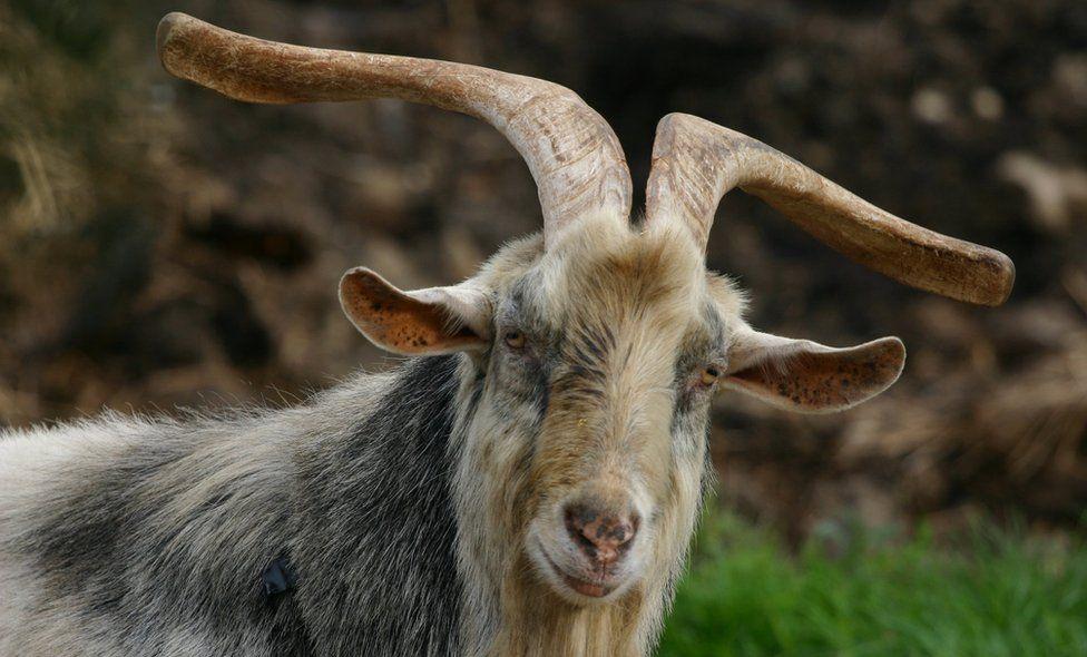 A long horned billy goat enjoying the day in a farm near Kessingland, Suffolk