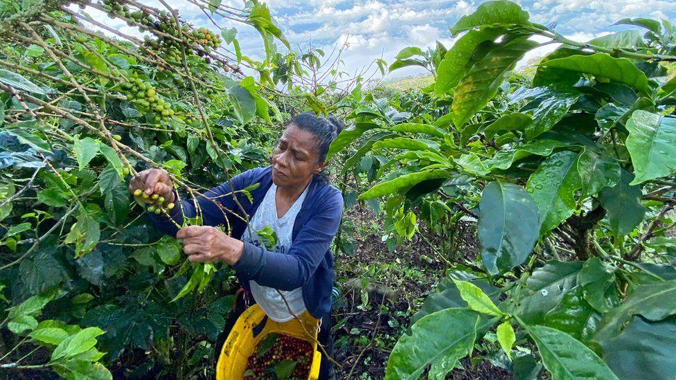 Gloria Piedrahita picks coffee at the Santa Isabel estate on 20 November 2020