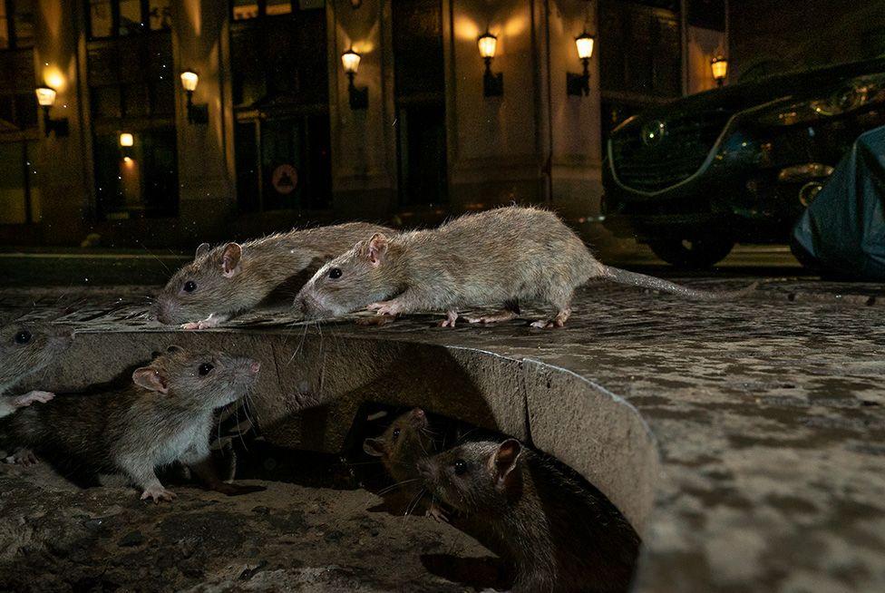 La manada de ratas de Charlie Hamilton James