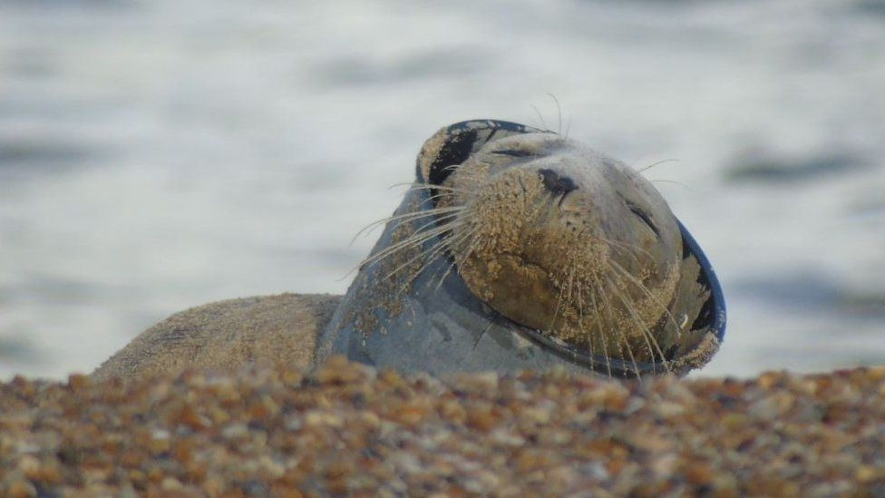Seal with plastic object around neck