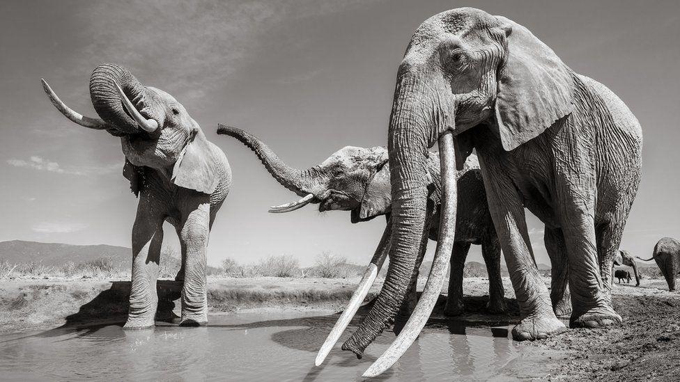 Last photos of Kenyas elephant queen - BBC News
