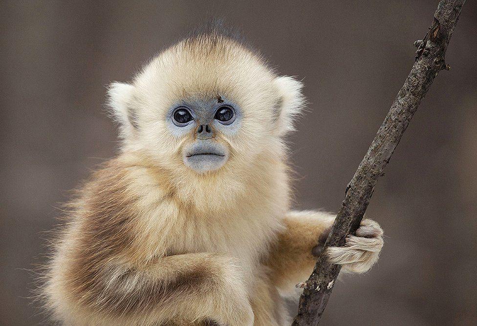A golden snub nosed monkey