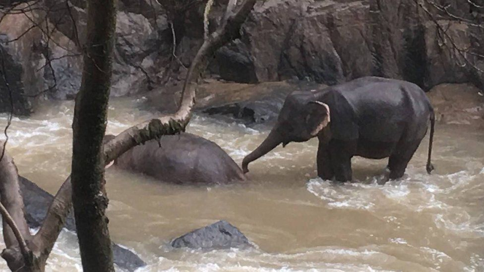 An elephant attempts to wake one of its deceased companions