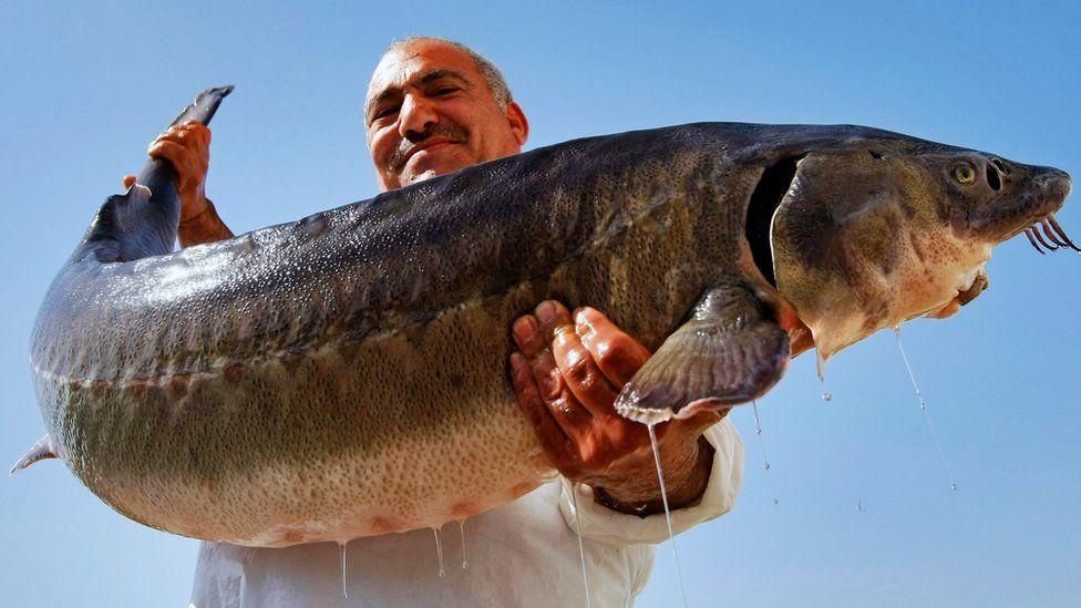 A man holds a live female sturgeon fish