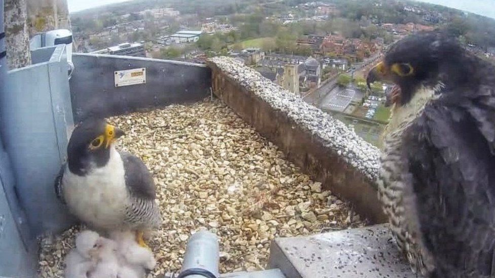 Peregrines with chicks