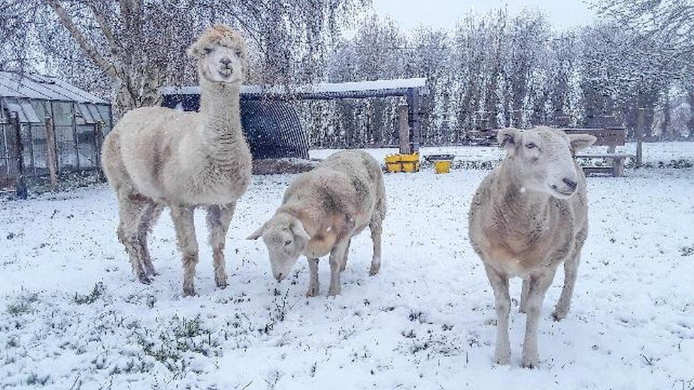 Alpaca and sheep in snow