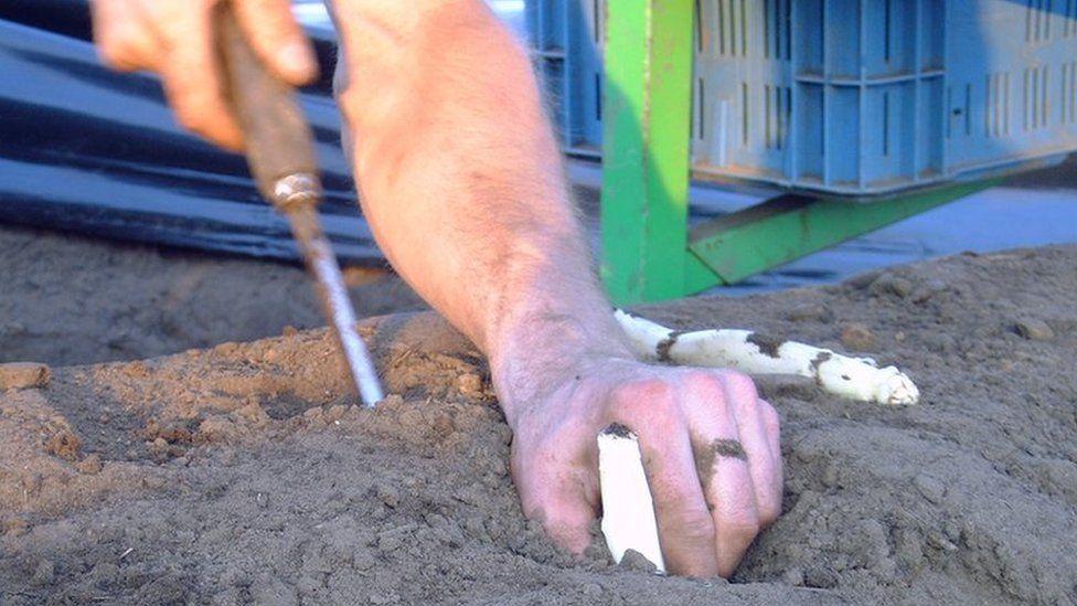 Man digging up white asparagus in sandy soil