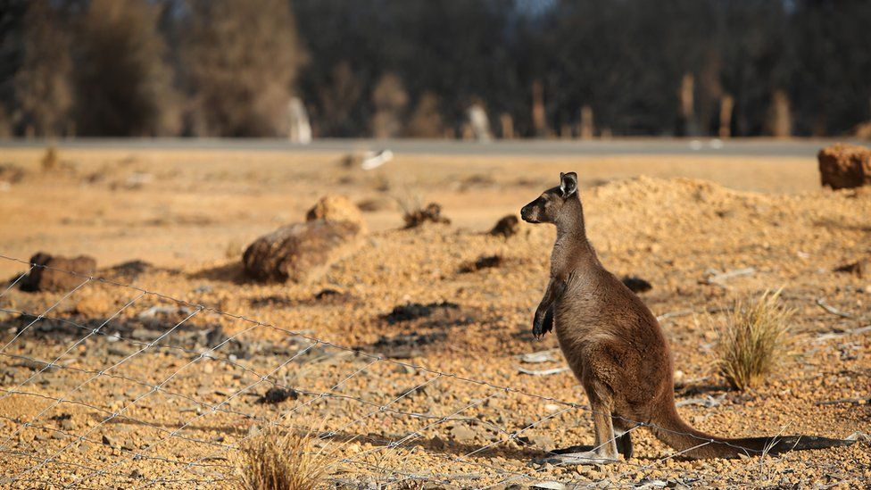 A kangaroo on the edge of a bushfire-damaged national park on the island