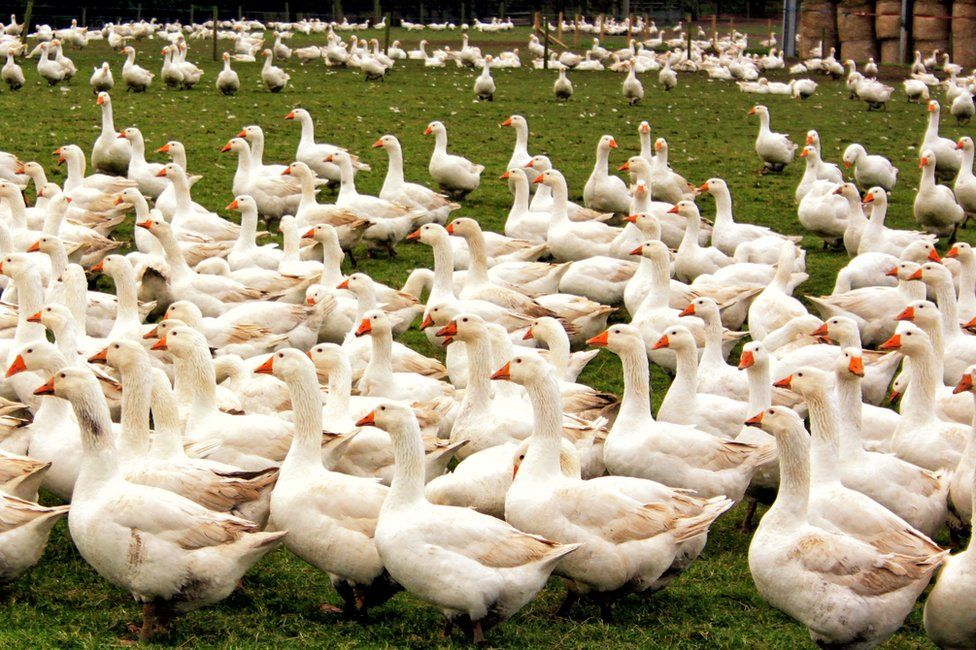 A large number of geese outdoors