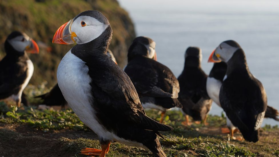 Puffins on Skomer Island, off the Pembrokeshire coast