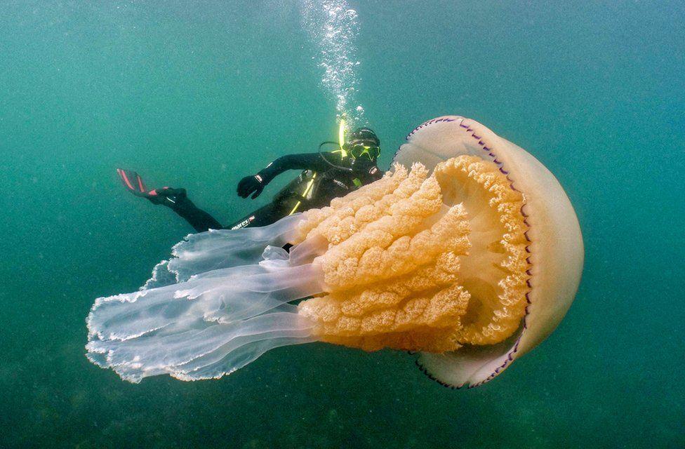 Wildlife biologist Lizzie Daly swims alongside a barrel jellyfish