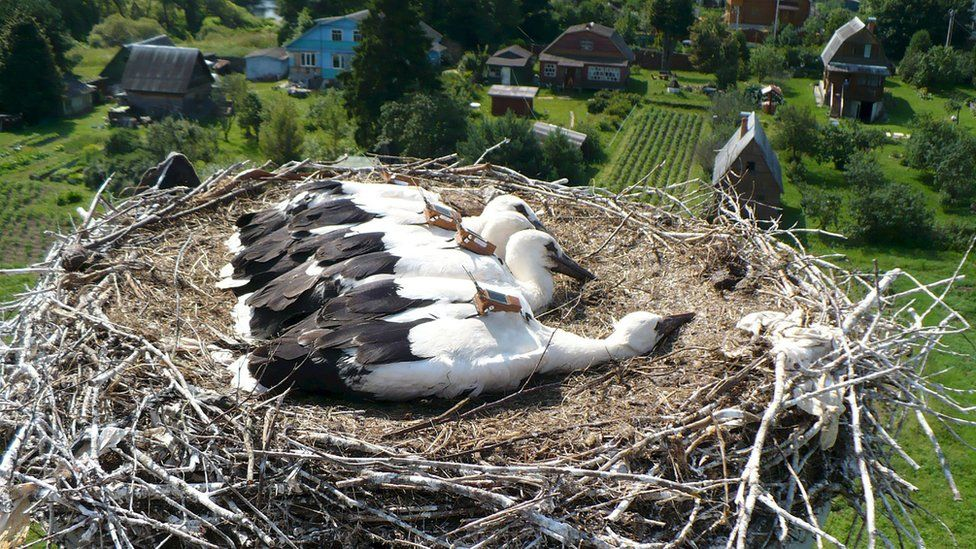 Juvenile storks from Russia with GPS tag